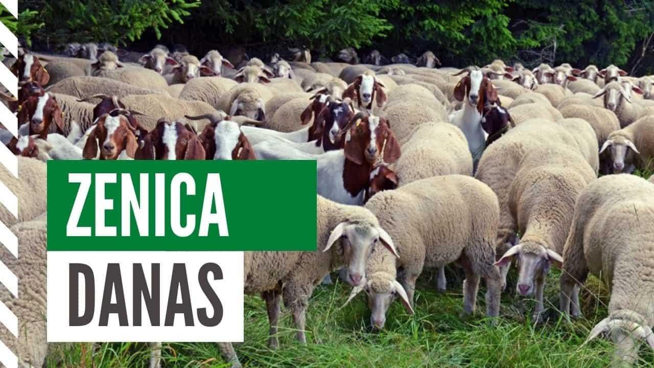 Podsticaj za obnovu stočnog fonda u ovčarstvu i kozarstvu